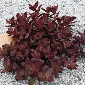 Sedum Cherry Tart Hybrid  - Sedum SunSparkler -  std pot